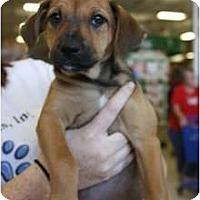 Adopt A Pet :: Mocha - Arlington, TX