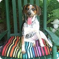 Adopt A Pet :: *Clara Belle - PENDING - Westport, CT