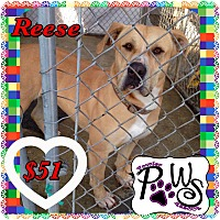 Adopt A Pet :: Reese - Fowler, CA