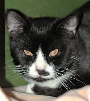 Domestic Shorthair Kitten for adoption in Freeport, Florida - Swag