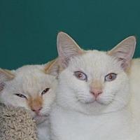 Siamese Cat for adoption in Houston, Texas - Tyler