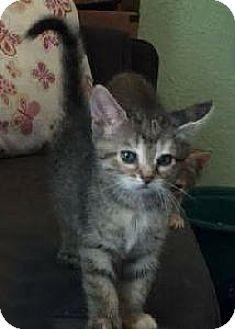 Domestic Shorthair Kitten for adoption in Richardson, Texas - Monkey