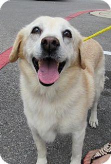 American Eskimo Dog/Labrador Retriever Mix Dog for adoption in Von Ormy, Texas - Lucy