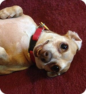 Chihuahua Mix Dog for adoption in Garland, Texas - Monica