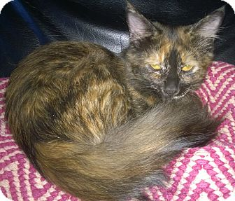 Domestic Shorthair Kitten for adoption in Wamego, Kansas - Tatiana