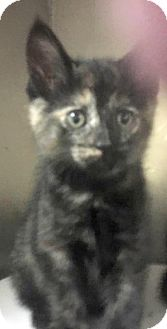 Domestic Shorthair Kitten for adoption in Flint, Michigan - Marley