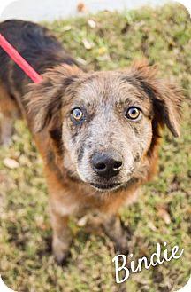 Australian Shepherd/Border Collie Mix Dog for adoption in DFW, Texas - Bindi