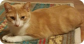 Domestic Shorthair Cat for adoption in Waldorf, Maryland - Ginger