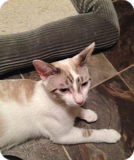 Siamese Cat for adoption in Virginia Beach, Virginia - Jerry