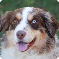 Australian Shepherd Dog for adoption in Brattleboro, Vermont - Mo