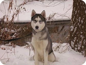 Husky Dog for adoption in Belleville, Michigan - Hagen