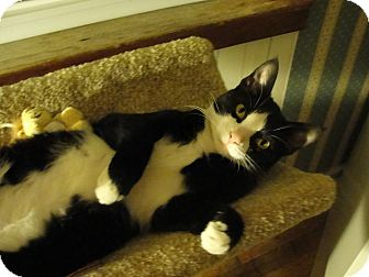 Domestic Shorthair Kitten for adoption in Southington, Connecticut - Angel