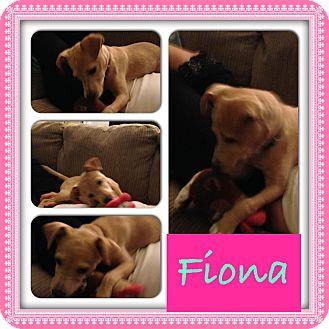Fox Terrier (Toy)/Dachshund Mix Puppy for adoption in CHICAGO, Illinois - FIONA