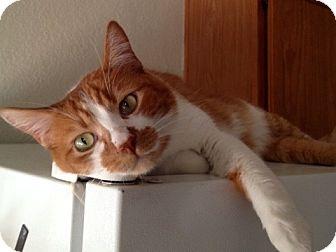 Domestic Shorthair Cat for adoption in Fountain Hills, Arizona - ZEIKE