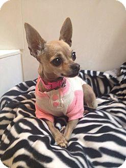 Chihuahua Dog for adoption in Las Vegas, Nevada - Crystal