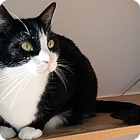 Domestic Shorthair Cat for adoption in Palatine, Illinois - Morgan