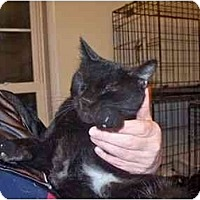 Domestic Shorthair Cat for adoption in East Stroudsburg, Pennsylvania - Yoko