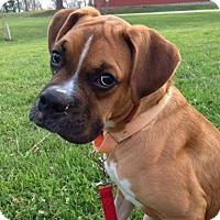 Adopt A Pet :: Rob Roy - Springfield, MO