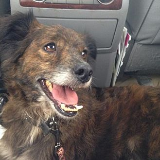 Rat Terrier/Poodle (Miniature) Mix Dog for adoption in Sunset, Louisiana - Iggy