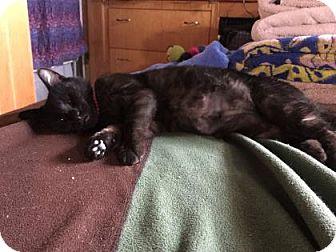 Domestic Shorthair Cat for adoption in Pittsburgh, Pennsylvania - Lexi