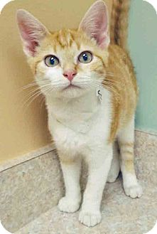Domestic Shorthair Kitten for adoption in Hinsdale, Illinois - ADOPTED!!!   Sunshine