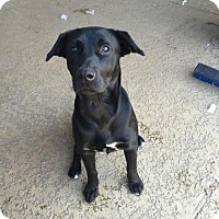 Labrador Retriever Mix Dog for adoption in Houston, Texas - Corbin