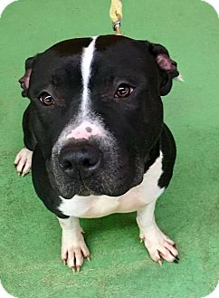 American Pit Bull Terrier Dog for adoption in Roanoke, Virginia - LaLa