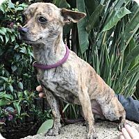 Adopt A Pet :: Tiger Lily - Costa Mesa, CA