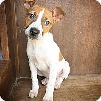 Adopt A Pet :: Marie - Fredericksburg, TX