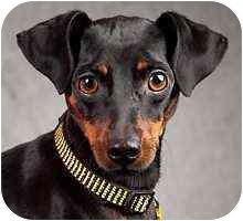 Miniature Pinscher Dog for adoption in Columbus, Ohio - Eli