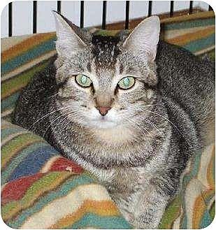 Domestic Shorthair Cat for adoption in Lafayette, Louisiana - Diamond