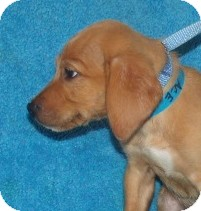 Labrador Retriever Mix Puppy for adoption in Phillips, Wisconsin - Ace