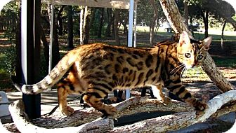 Bengal Cat for adoption in Seminole, Florida - COURTESY POST -- Jewels