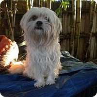 Adopt A Pet :: Sweety - Fort Lauderdale, FL