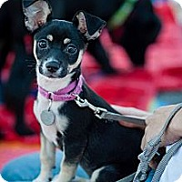 Adopt A Pet :: Syrup - Santa Monica, CA