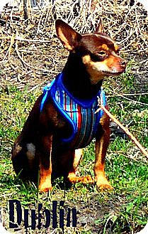 Chihuahua Mix Dog for adoption in Columbia Heights, Minnesota - Dublin