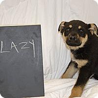 Adopt A Pet :: Lazy - Westminster, CO