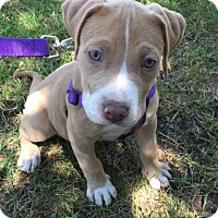 Adopt A Pet :: Lilly - Lake Forest, CA