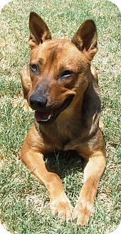 German Shepherd Dog Mix Dog for adoption in Watauga, Texas - Dove