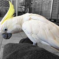 Cockatoo for adoption in Villa Park, Illinois - Sweet Pea