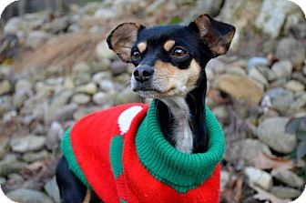 Chihuahua/Miniature Pinscher Mix Dog for adoption in Pittsburgh, Pennsylvania - Belle