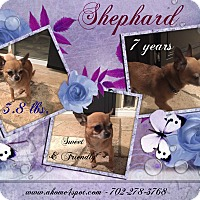 Adopt A Pet :: Shephard - Las Vegas, NV
