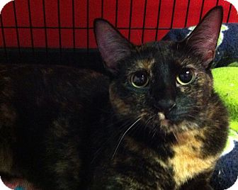 Domestic Shorthair Cat for adoption in Topeka, Kansas - Taboo
