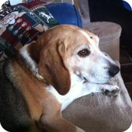 Beagle Mix Dog for adoption in Phoenix, Arizona - Donner