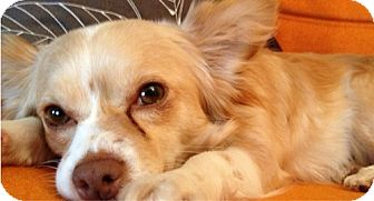 Chihuahua Mix Dog for adoption in Hamilton, Ontario - Cagney