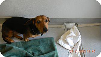 Dachshund Mix Dog for adoption in Sandusky, Ohio - BUDDY