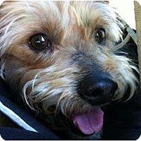 Adopt A Pet :: Bucky the Velcro Dog - Concord, CA