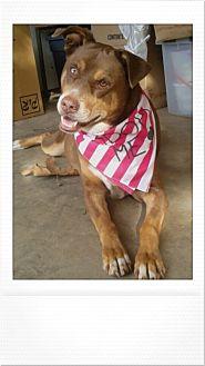 Doberman Pinscher Mix Dog for adoption in Studio City, California - Ginger