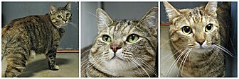 Domestic Shorthair Cat for adoption in Forked River, New Jersey - Storm