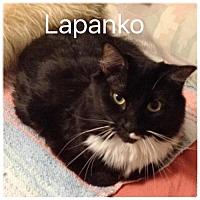Domestic Shorthair Cat for adoption in Satellite Beach, Florida - Lapanko